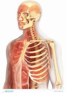 Anatom U00eda - Ilustraci U00f3n M U00e9dica