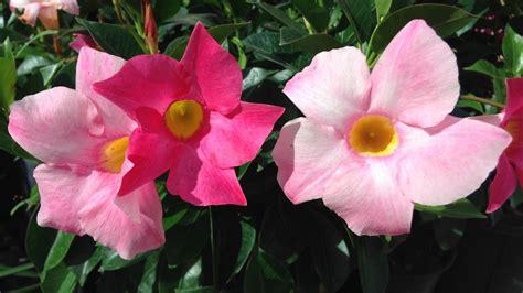 Kletterpflanzen Mit Blüten by Kletterpflanzen Als Sichtschutz F 252 R Balkon Und Terrasse