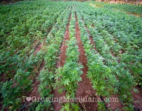 Best Soil For Marijuana Plants Growing Outdoors