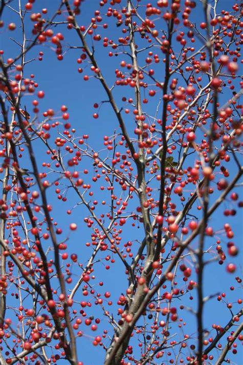 flowering tree snowdrift crabapple malus  snowdrift