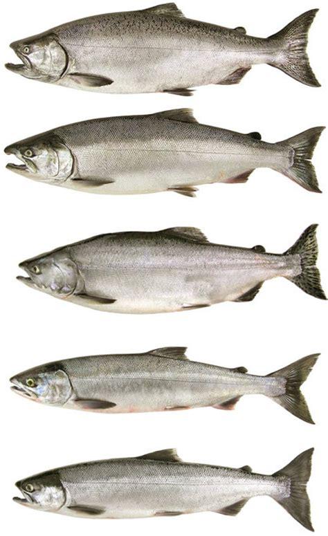 types of salmon salmon and steelhead