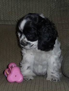 Cuttinbluefarms has puppies for sale on akc puppyfinder. AKC Parti Cocker Spaniel Puppies for Sale in Almedia, Pennsylvania Classified | AmericanListed.com