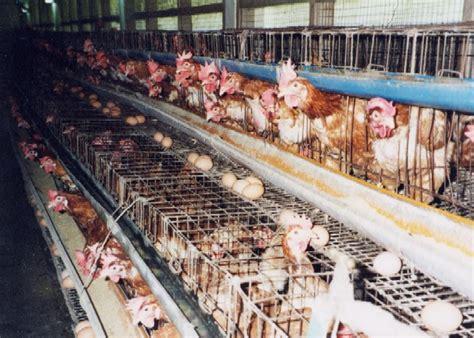 alimentation poules pondeuses en exterieur faq les questions les plus courantes sur l alimentation la viande le lait et les oeufs