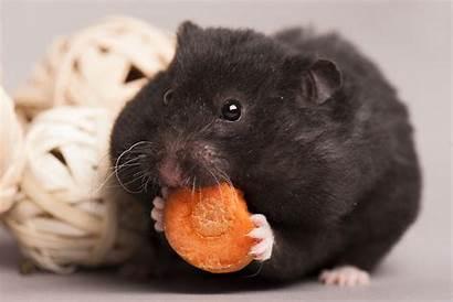 Hamster Etende Hamsters Ze Wat Het Door
