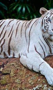 White tiger - Wikipedia