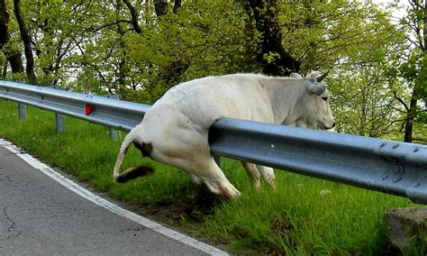 Picture Cow Laughing At Horse Stuck Fence