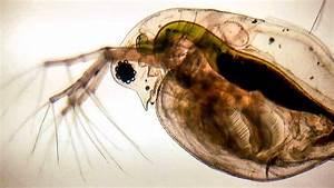 Pond Life - Daphnia  Water Fleas  - Wyedean Science