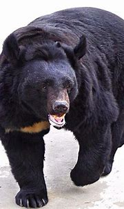 The bear in the Moscow Zoo Moscow Russia Zoo Bear Winter B ...