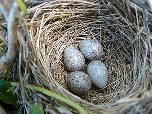 FIELD NOTES: Song Sparrow nest.