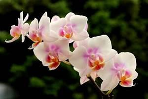 Pflegeleichte Zimmerpflanzen Mit Blüten : orchidee pflegehinweise und n tzliche infos ber die k nigin der zimmerpflanzen ~ Sanjose-hotels-ca.com Haus und Dekorationen