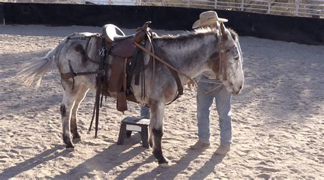 The mule true story reveals that the name was changed for the movie. The Mule Rider's Martingale - For Balancing Mules and ...