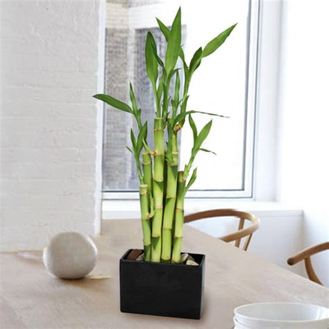 how to care for bamboo plants giving plants potted plant ideas information about plants