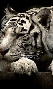 10 New White Tiger Wallpaper 3D FULL HD 1920×1080 For PC ...