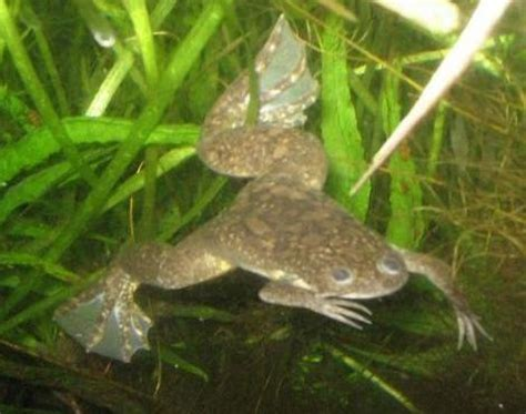 picture    african clawed frog xenopus laevis