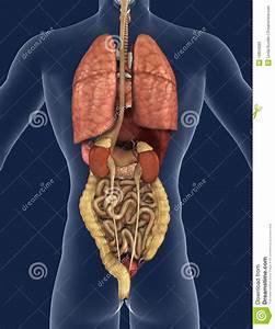 Internal Organs Back View Stock Illustration  Image Of