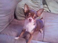 Chihuahuas on Pinterest | Chihuahua Puppies, Teacup ...