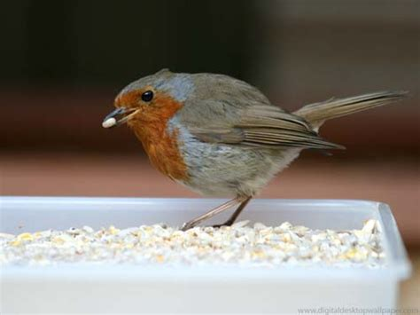 bird robin red breast eating bird seed robin red