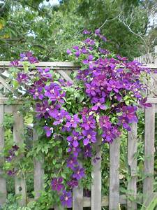 Mad Dogs and Englishmen: Let's Talk Clematis ...