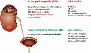 Figure 1 From Susceptibility To Acute Pyelonephritis Or