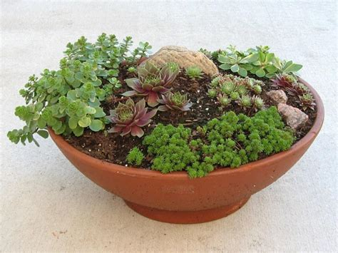 growing sempervivum in containers garden org