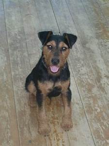 Black and tan male terrier of around 1 year old | Hull ...