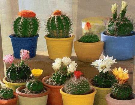 indoor flowering cactus plants plantas pra se ter em apartamento conhe 231 a as 7 melhores