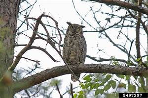 Great Horned Owl - Bubo virginianus - NatureWorks
