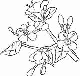 Blossom Cherry Coloring Dogwood Tree Flower Japanese Apple Spring Printable Blossoms Sakura Template Colouring Ume Getcolorings Embroidery Drawings Sketch Easter sketch template