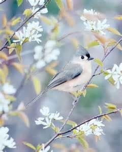 Spring Tufted Titmouse Bird