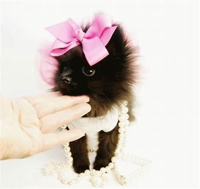 Puppies Stereotypes Southern Pomeranian Teacup Mini Pomeranians
