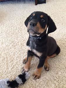Our baby Jax.. Rottweiler lab mix | puppies | Pinterest ...
