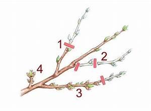 Kirschbaum Richtig Schneiden : 16 best zimmerpflanzen images on pinterest house plants ~ Lizthompson.info Haus und Dekorationen
