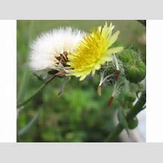 Dandelion Life Cycle From Seed To Flower  New Tampa, Fl Patch