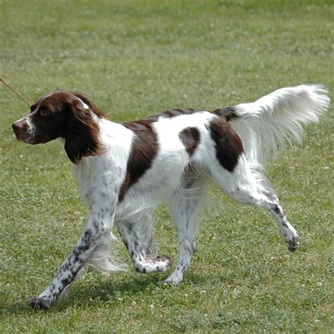 French Spaniel Breed Guide - Learn about the French Spaniel.