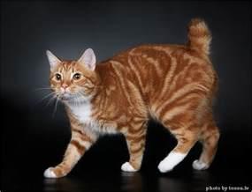 manx cat manx cat cats