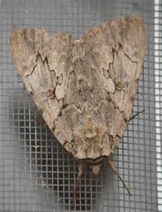 Large Brown Moth Identification