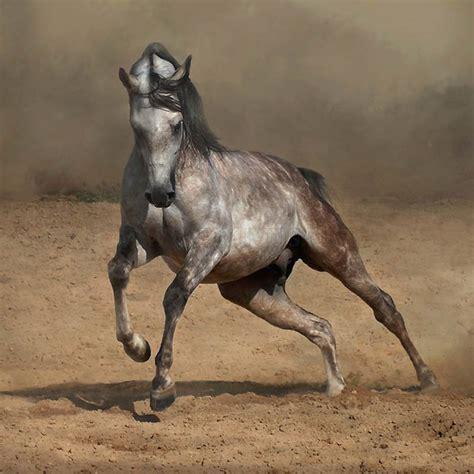 andalusian horse arab animals arabian horses stallion iberian andalucian arabians friends pura andalusians breeds caballos