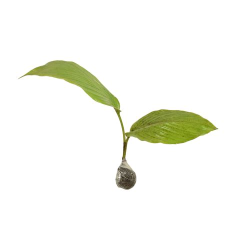 tanaman temu kunci
