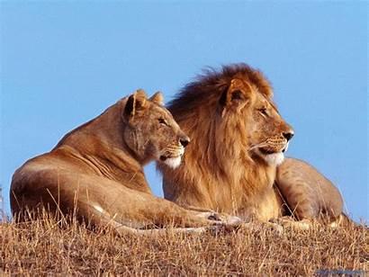 Wildlife Animals Wild Lion Kills Cons Africa