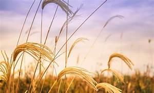 Free Picture  Field  Agriculture  Barley  Seed  Straw
