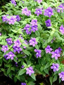 browallia 39 blue bells 39 garden housecalls