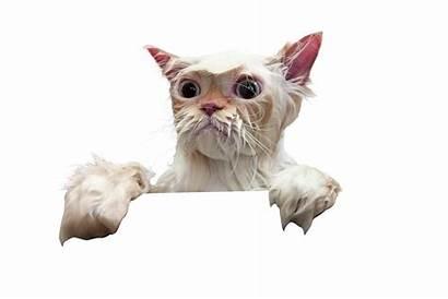 Cat Transparent Wet Clipart Peeking Cutout Pluspng