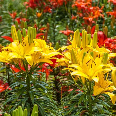 brecks asiatic lilies  cutting bulbs mixture  pack