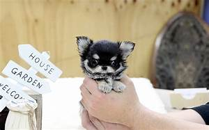 Top quality long hair teacup chihuahua puppy | Here's top ...