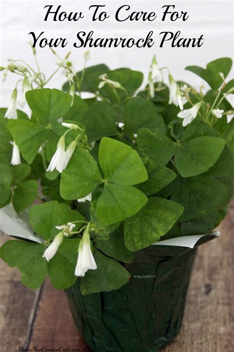 how to care for plant how to care for shamrock plants the home and garden cafe