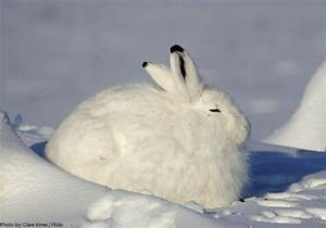 Interesting facts about Arctic hares | Just Fun Facts