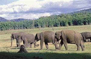 Asian Elephants in the Nilgiri Landscape, India   Whitley ...