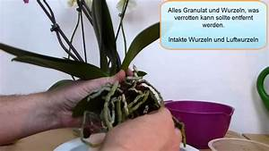 Orchideen Umtopfen Video : orchideen umtopfen youtube ~ Watch28wear.com Haus und Dekorationen