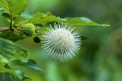Button Bush Wildflower - Cephalanthus occidentalis 2 ...