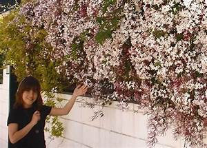 Jasminum officinale, la trepadora aromática Floresyplantas net